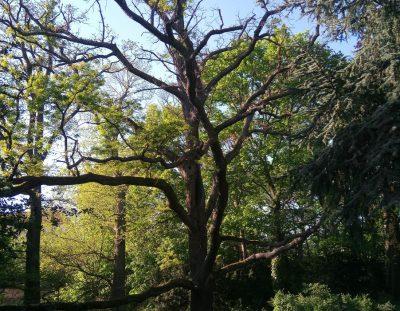 Alte Eiche - Habitatbaum